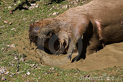 Capybara in mud water