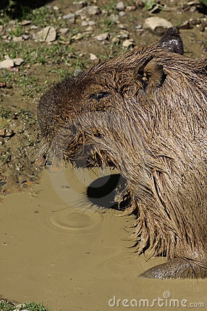 Capybara in mud water