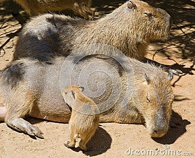 Capybara rodent family