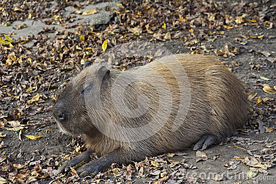 Capybara Rodent at Rest