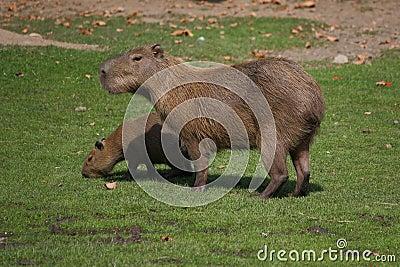 Capybara s family