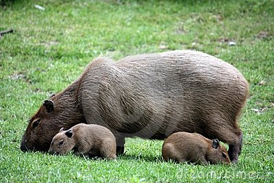 Capybara with sucklings