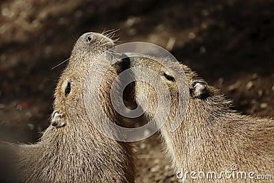 Capybaras courting