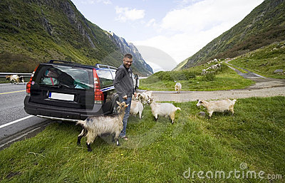 Car trip in Norway with goats