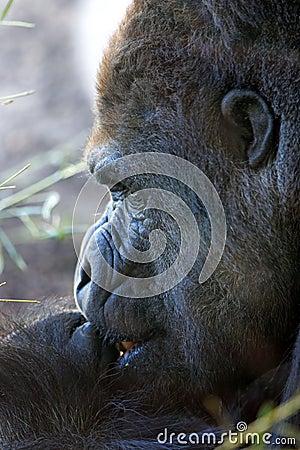 Cara gigante del gorila