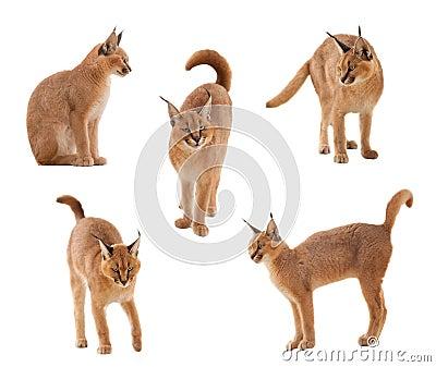 Caracal γάτα