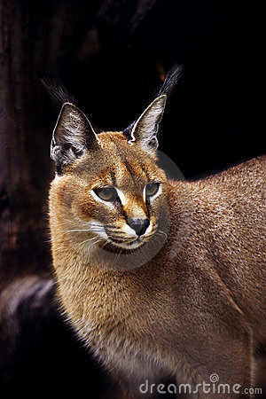 Free Caracal Stock Image - 248581