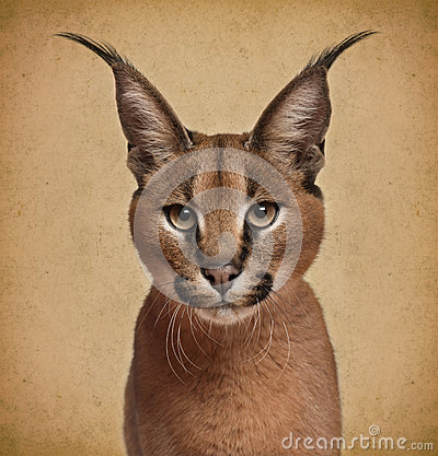 Free Caracal, 6 Months Old Royalty Free Stock Photo - 39254235