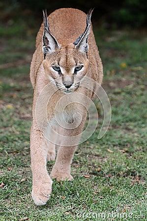 Caracal or African Lynx