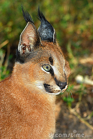 Caracal - African wild cat