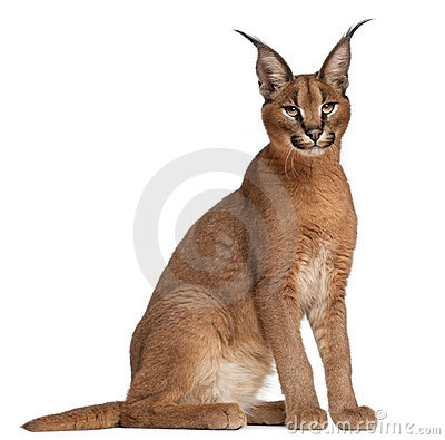 Free Caracal, Caracal Caracal, 6 Months Old Stock Photo - 20334610