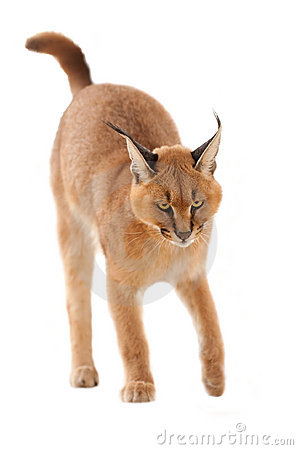 Free Caracal Cat Royalty Free Stock Photo - 17781195