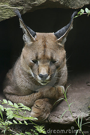 Caracal Cat with Paws Crossed
