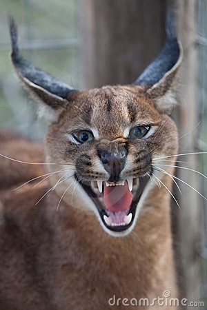 Free Caracal Growl Royalty Free Stock Images - 21462819