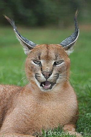 Caracal Lynx Portrait