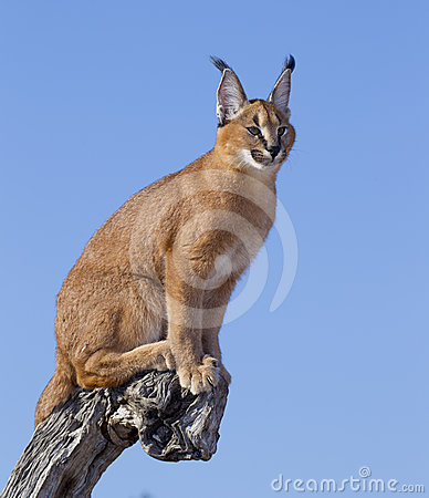 Free Caracal, South Africa Royalty Free Stock Photo - 24483945