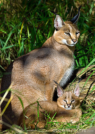 Free Caracal With Baby Royalty Free Stock Image - 16599056