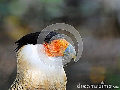 Caracara Bird