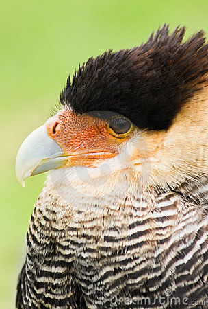 Caracara in side angle view