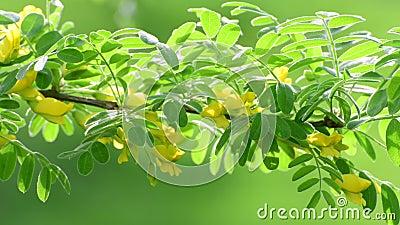 Caragana-arborescens oder gelbe Akazie stock video footage