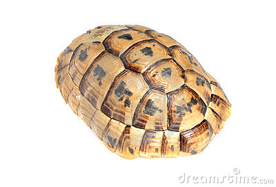 Carapace of Tortoise turtle