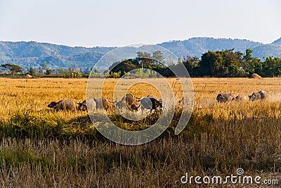 Caravan of buffaloes