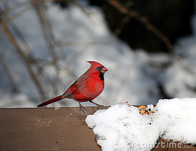The Cardinal Bird at Winter