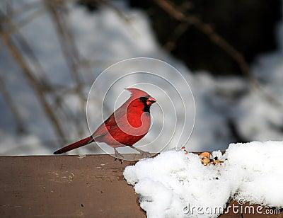 The Cardinal Bird at Winter