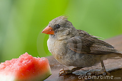 Cardinal eating Watermelon