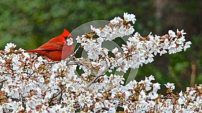 Cardinal Enjoying Lunch