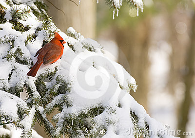 Cardinal in an evergreen