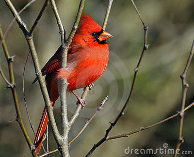 Cardinal perched on a limb sunning