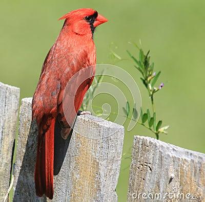 Cardinal Redbird