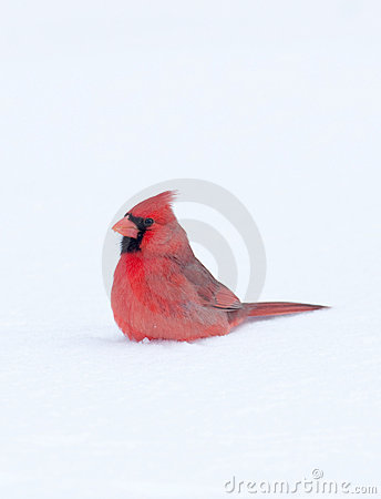 Cardinal sitting in the snow