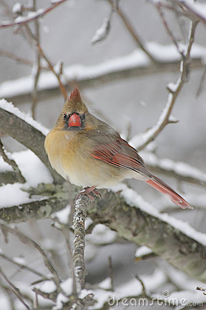 Cardinal Bird Snow on Sign Up And Download This Cardinal In Snow Image For As Low As  0 20
