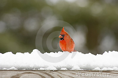 Cardinal on snow covered rail