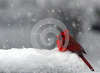 Cardinale in neve