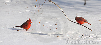 Cardinals on Snow