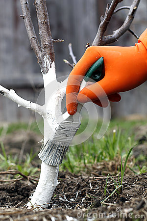 Care tree winter stock photo image 39323426 - Protecting fruit trees in winter ...