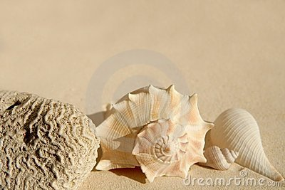 Caribbean beach sand sea shells and brain cor