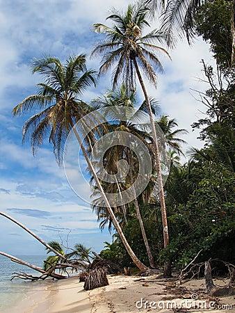 Caribbean coconuts trees