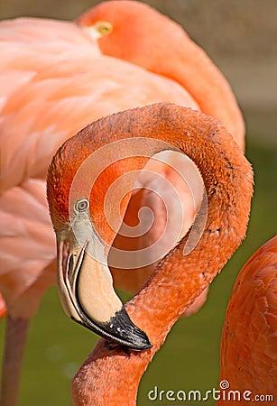Caribbean Flamingo Curled Neck