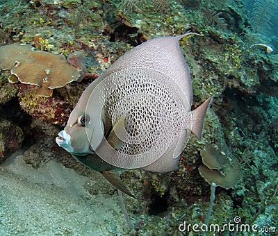 Caribbean french angelfish, roatan, honduras