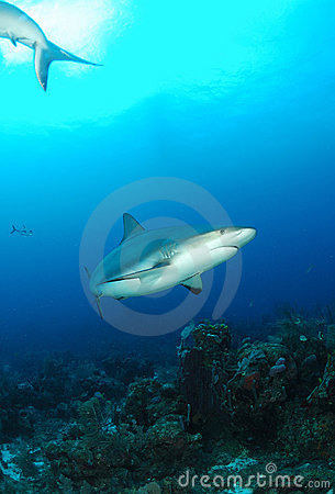 Caribbean gray reef shark