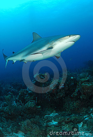 Caribbean Grey Reef Shark