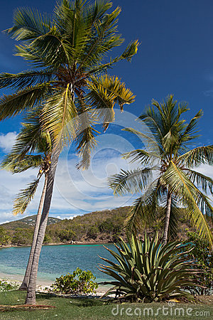 Caribbean harbor surrounded by Coconut palm trees