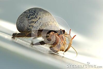 Caribbean Hermit Crab 1