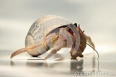 Caribbean Hermit Crab 2