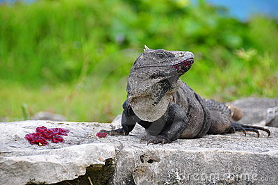 Caribbean Iguana, Mexico