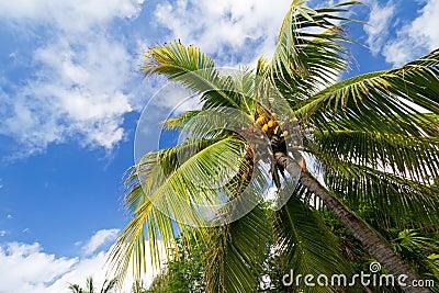Caribbean palm trees